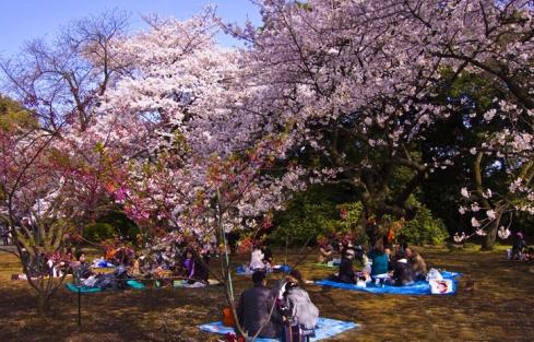 荥阳古柏渡丰乐樱花园下半年将免费开放