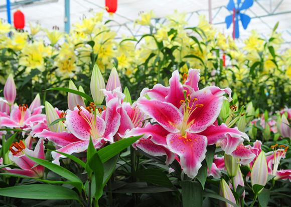 绿博园:百合花展筹备中,大年初一迎客